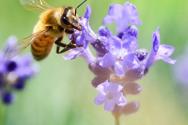 lavender-3490600 pixabay